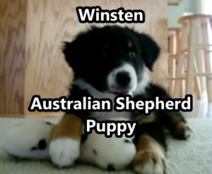 Aussie Puppy Pics
