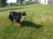 Australian Shepherd Dogs Love Playing Ball (10)