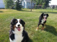 Australian Shepherd Dogs Love Playing Ball (2)