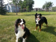 Australian Shepherd Dogs Love Playing Ball (3)