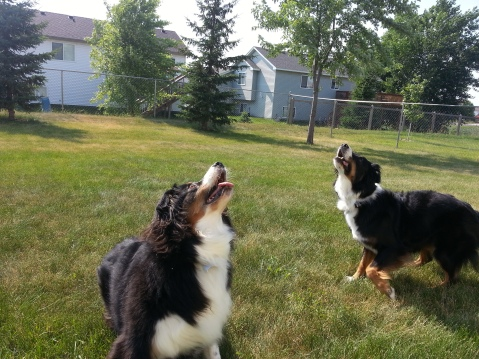 Australian Shepherd Dogs Love Playing Ball (4)