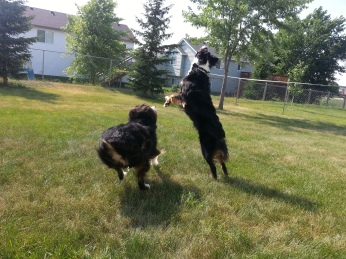 Australian Shepherd Dogs Love Playing Ball (5)