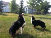 Australian Shepherd Dogs Love Playing Ball (6)