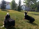Australian Shepherd Dogs Love Playing Ball (8)