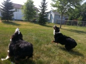 Australian Shepherd Dogs Love Playing Ball (8)