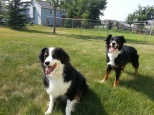 Australian Shepherd Dogs Love Playing Ball (9)