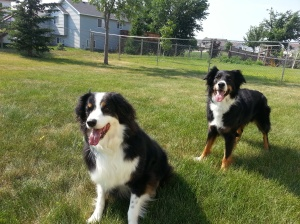 Australian Shepherd Dogs Love Playing Ball (9)