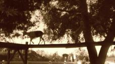 Goats Climbing Trees at Emma Krumbees