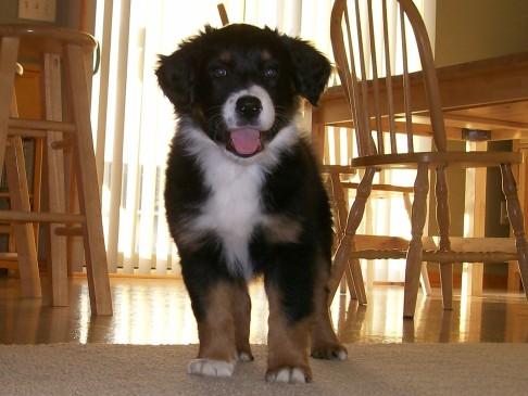 Winsten Aussie Black Tri Puppy (1)
