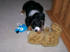 Winsten Aussie Black Tri Puppy (11)