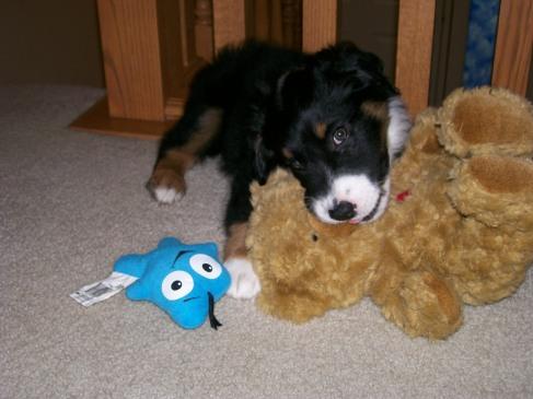 Winsten Aussie Black Tri Puppy (12)