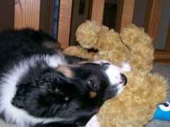 Winsten Aussie Black Tri Puppy (14)