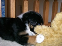 Winsten Aussie Black Tri Puppy (15)