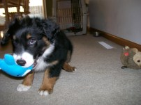 Winsten Aussie Black Tri Puppy (17)
