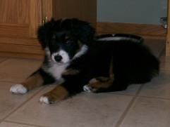 Winsten Aussie Black Tri Puppy (18)