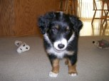Winsten Aussie Black Tri Puppy (19)