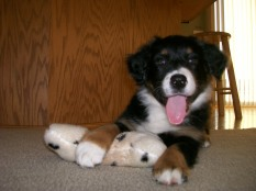 Winsten Aussie Black Tri Puppy (3)