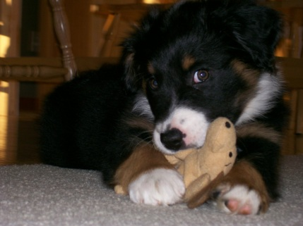 Winsten Aussie Black Tri Puppy (4)