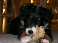 Winsten Aussie Black Tri Puppy (5)