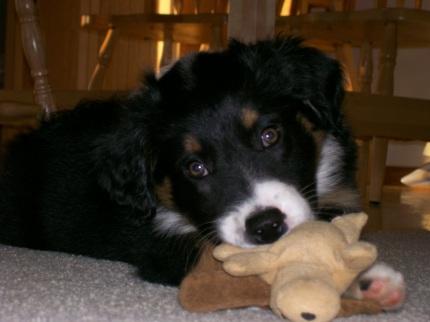 Winsten Aussie Black Tri Puppy (6)