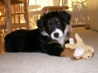 Winsten Aussie Black Tri Puppy (8)
