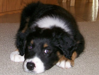 Winsten Aussie Black Tri Puppy (9)