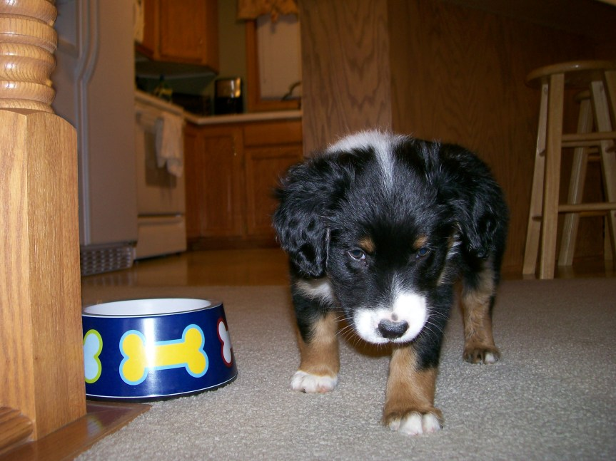 Winsten Australian Shepherd Puppy (1)