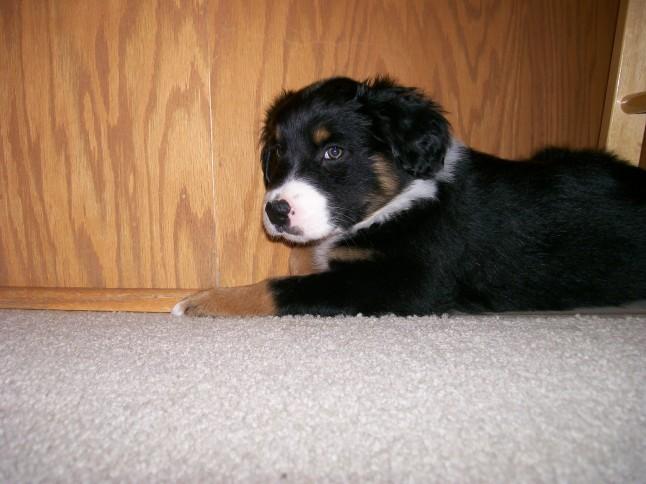 Winsten Australian Shepherd Puppy (10)