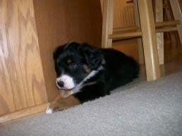 Winsten Australian Shepherd Puppy (11)