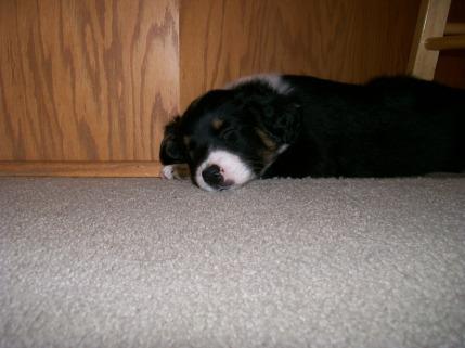 Winsten Australian Shepherd Puppy (14)