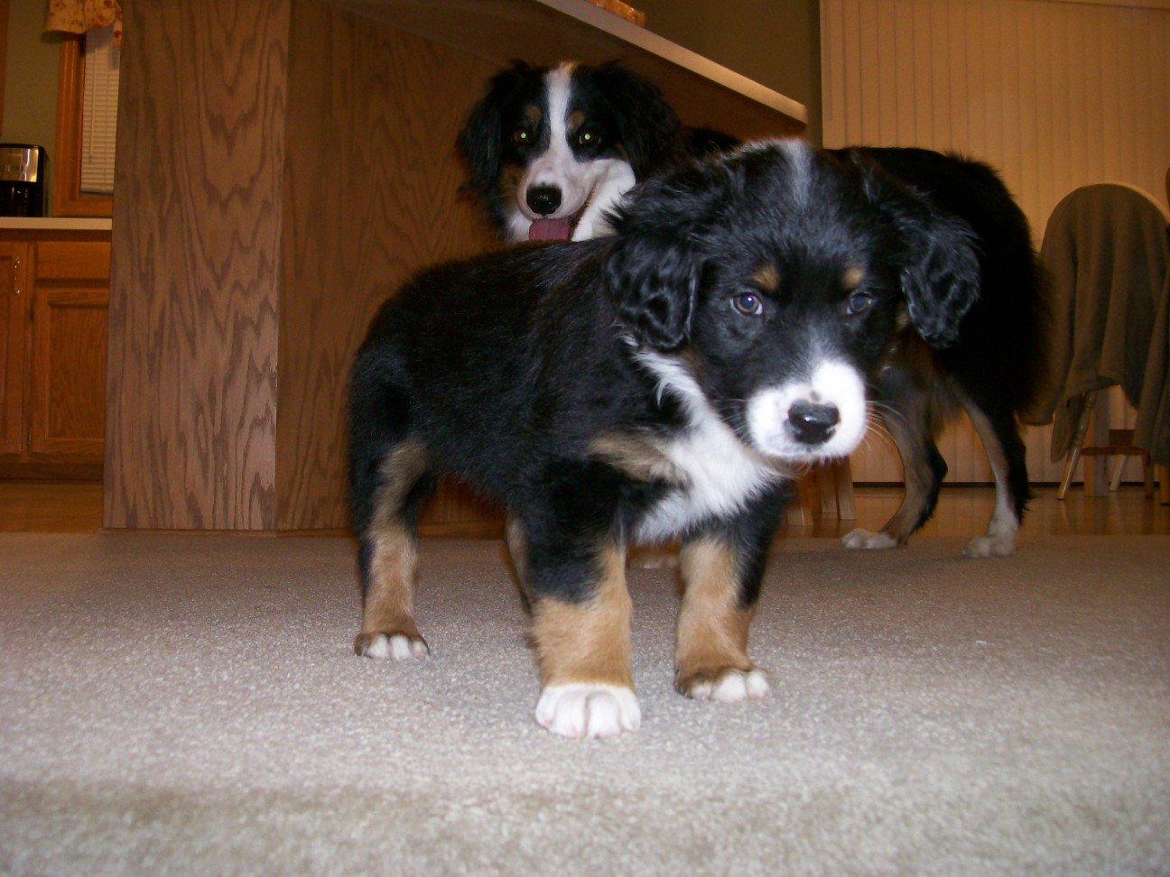 Winsten Australian Shepherd Puppy (15)
