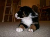 Winsten Australian Shepherd Puppy (2)