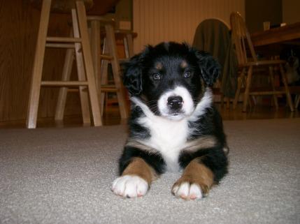 Winsten Australian Shepherd Puppy (3)