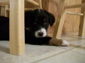 Winsten Australian Shepherd Puppy (6)
