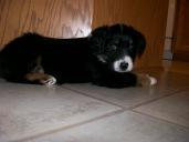 Winsten Australian Shepherd Puppy (7)