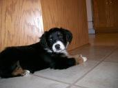 Winsten Australian Shepherd Puppy (8)