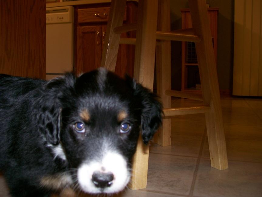 Winsten Australian Shepherd Puppy (9)