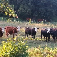 Cows Cheer me on as I ride past them